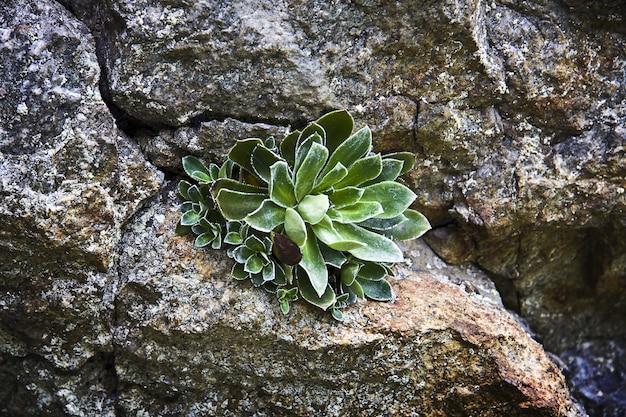 Colpo del primo piano della pianta piramidale sassifraga che cresce attraverso le pietre