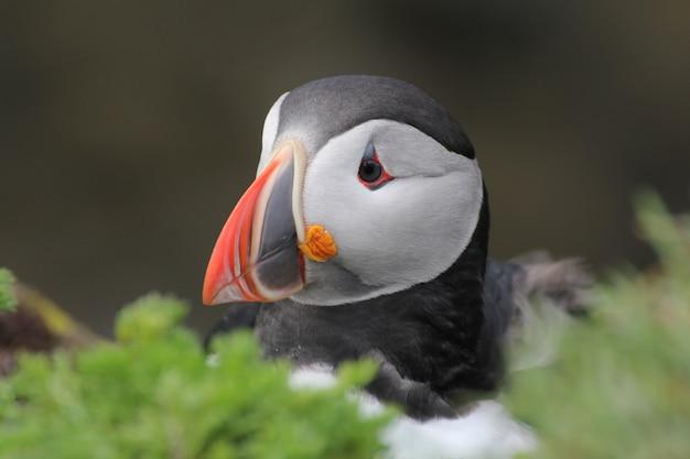 Colpo del primo piano di un pulcinella di mare posteriore dell'uccello dietro alcuni cespugli, islanda
