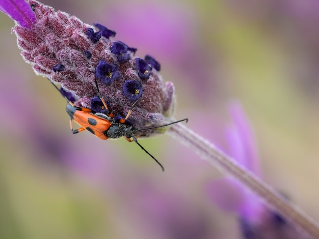 Closeup shot of a red and black insect on the purple plant in the garden