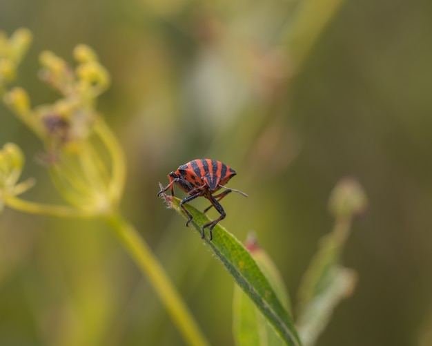 Closeup shot of a red and black striped stink bug