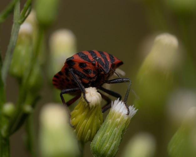 Primo piano di un insetto puzzolente a strisce rosse e nere