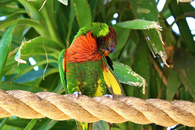 Closeup shot of a red-collared lorikeet standing on a rope surrounded by greenery under the sunlight
