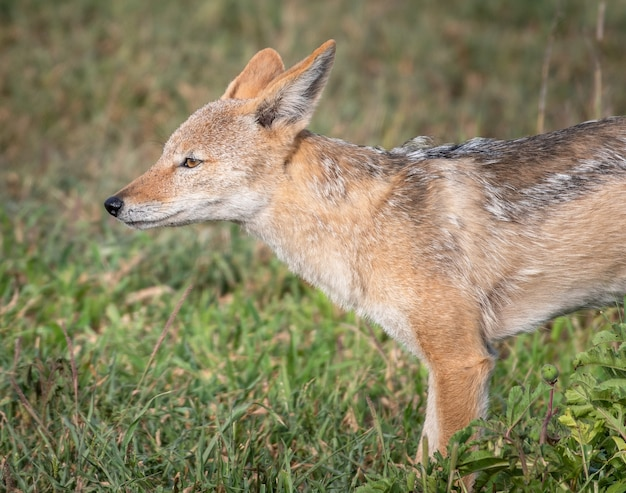 Closeup shot of a red fox in a field covered in greenery under the sunlight with a blurry background