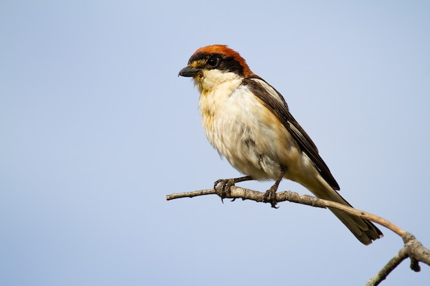 Closeup shot of a red-headed shrike sitting on a tree branch