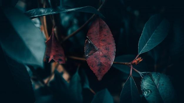 Colpo del primo piano della foglia rossa circondata dalle foglie verdi con uno sfocato