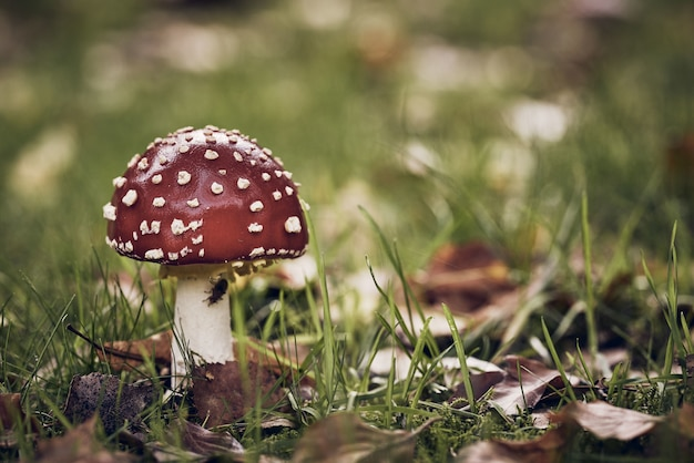Closeup shot of a red mushroom with white dots in a grassy field