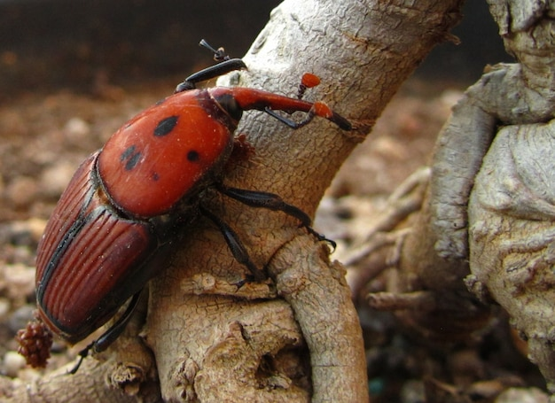 Closeup shot of a red palm weevil on a plank of wood in maltese islands