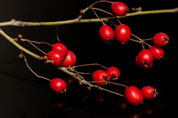 Closeup shot of red rosehips growing on the branch