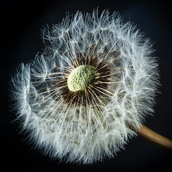 Closeup shot of a red-seeded dandelion on a black