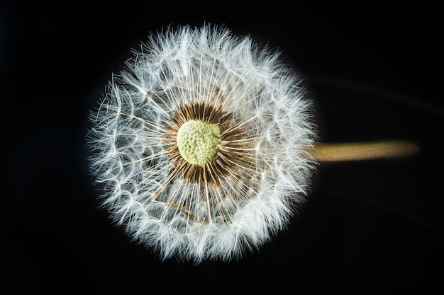 Closeup shot of a red-seeded dandelion