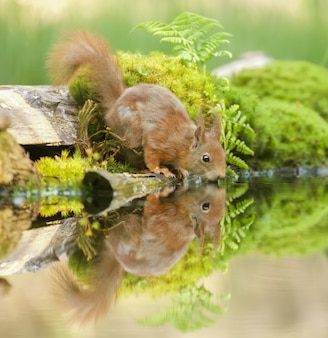 Closeup shot of a red squirrel near the water with its reflection visible