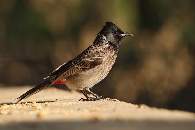 Primo piano di un uccello bulbul con sfiato rosso
