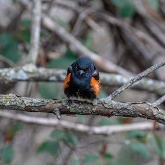 Colpo del primo piano di un merlo dalle ali rosse su un ramo