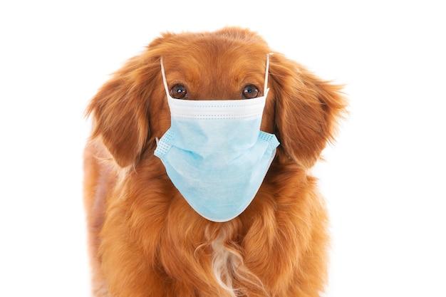 Primo piano di un cane retriever con una maschera facciale isolata su uno sfondo bianco