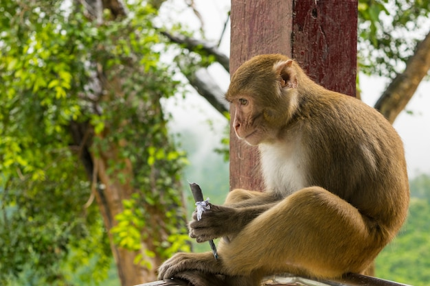 Closeup shot of a rhesus macaque primate monkey sitting on a metal railing and eating something