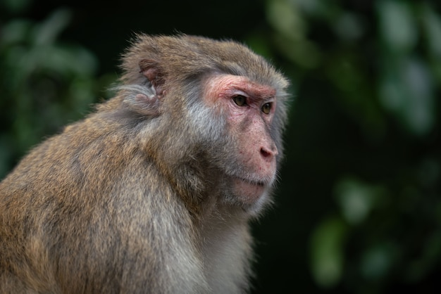 A closeup shot of a rhesus macaque