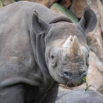 Colpo del primo piano di un rinoceronte nel processo di pascolo