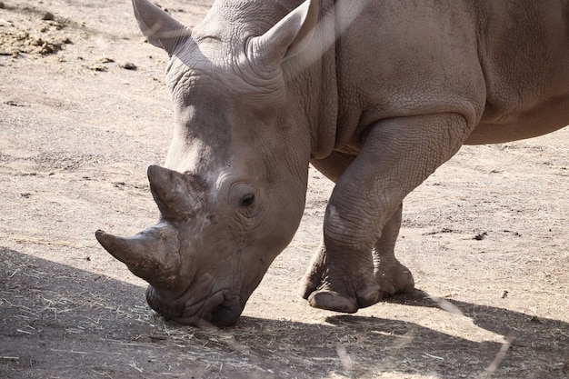 Closeup shot of a rhinoceros standing on the ground during daytime