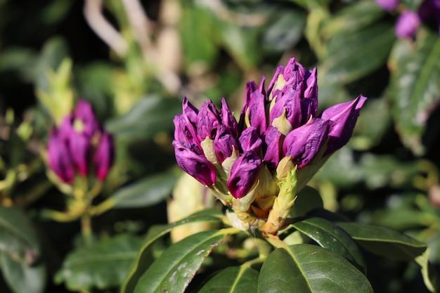 Colpo del primo piano dei fiori del rododendro sotto la luce