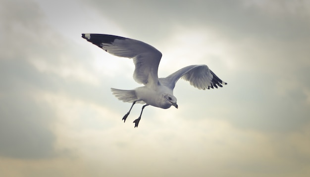 Closeup shot of a ring-billed gull flying at daytime