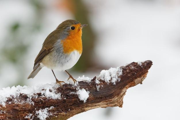 Colpo del primo piano dell'uccello del pettirosso appollaiato sul ramo di albero coperto di neve