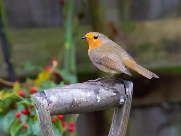 Closeup shot of robin redbreast