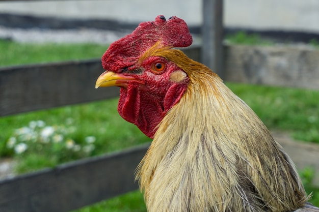 Closeup shot of a rooster
