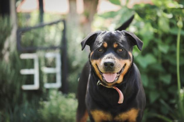 Closeup shot of rottweiler outdoors
