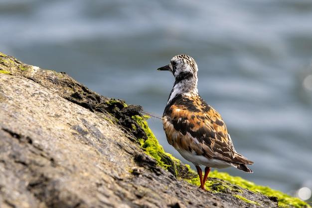 Closeup shot of ruddy turnstone standing on a rock near the shore