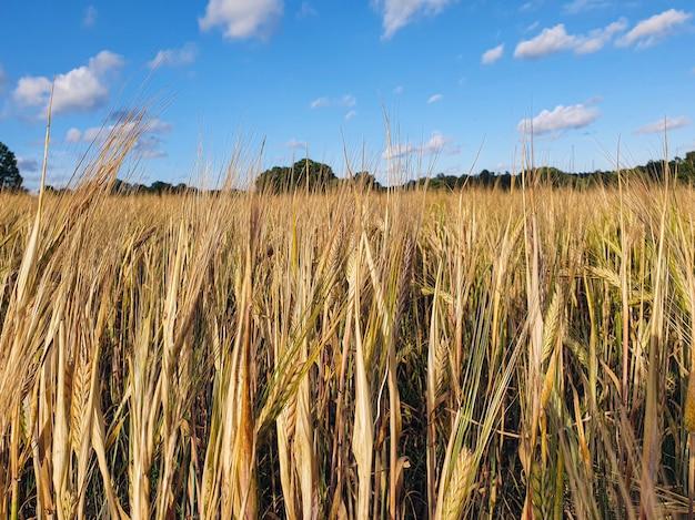 Closeup shot of rye field