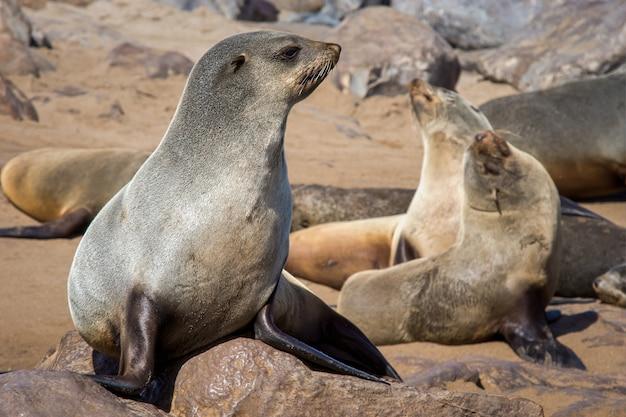 Colpo del primo piano del gruppo di leoni marini posa sulle rocce