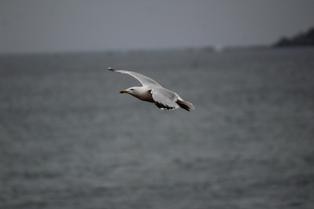 Closeup shot of a seagull flying low over the sea level