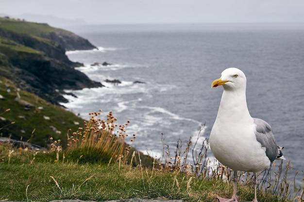 Closeup shot of a seagull in slea head drive