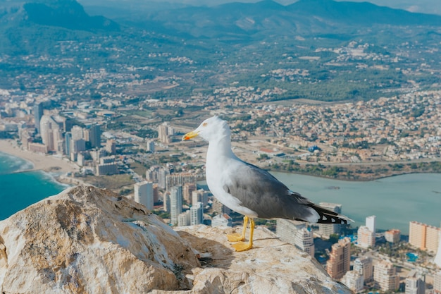 Closeup shot of a seagull on top of a rock with the view of the city in calpe island, spain