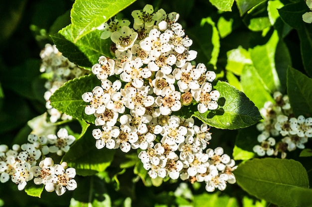 Closeup shot of several white flowers surrounded by green leaves
