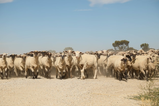Colpo del primo piano delle pecore che camminano sulla strada vicino a un campo