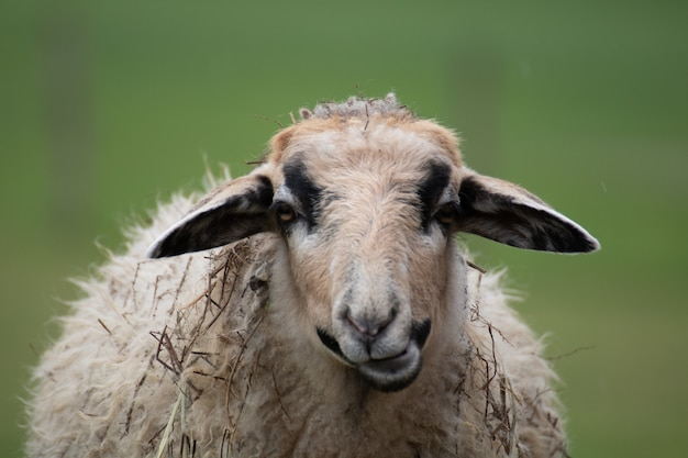 Closeup shot of a sheep with a blurred