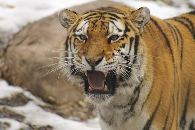 Closeup shot of a siberian tiger in the zoo