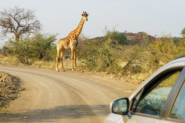 Closeup shot of a silver car approaching a giraffe in the safari