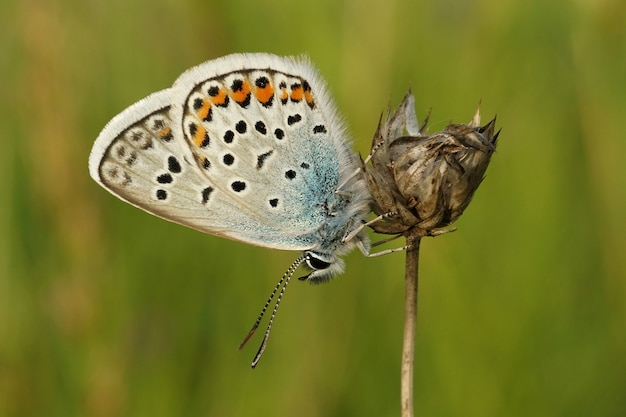 Closeup shot of a silver-studded blue butterfly, plebejus argus on a plant