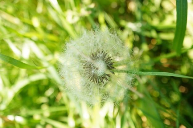 Closeup shot of a single dandelion