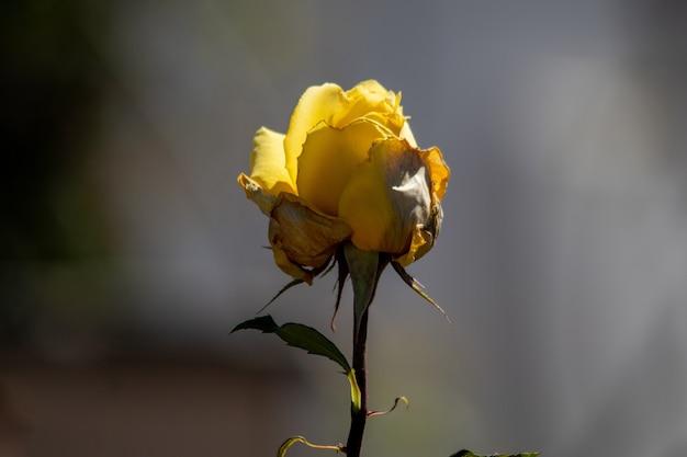 Primo piano di una singola rosa gialla con sfondo sfocato