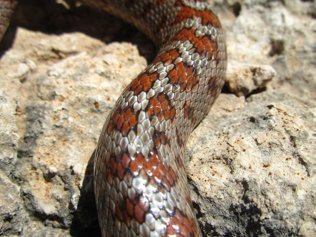 Colpo del primo piano della pelle di un serpente di ratto europeo