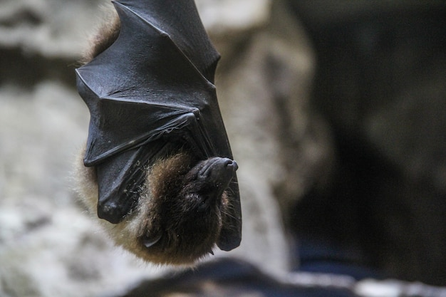 Closeup shot of a sleeping bat wrapped in its wings