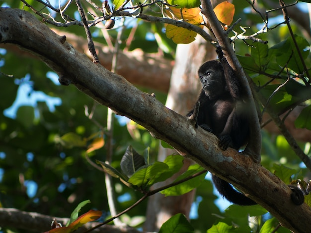 Closeup shot of a small black monkey resting a tree branch in a forest