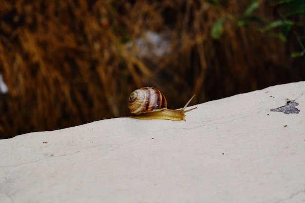 Closeup shot of a small snail with a brown shell gliding on the tip of a stone