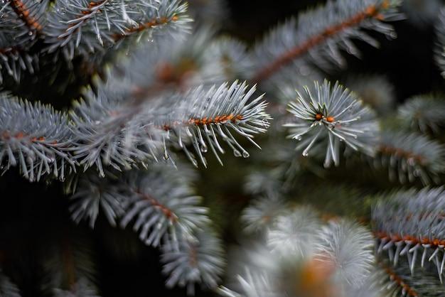 Primo piano di piccole goccioline d'acqua sui rami di pino