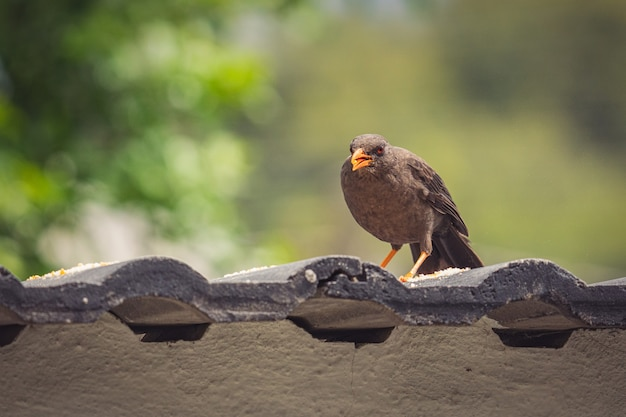 Closeup shot of a sooty thrush bird perched on the roof