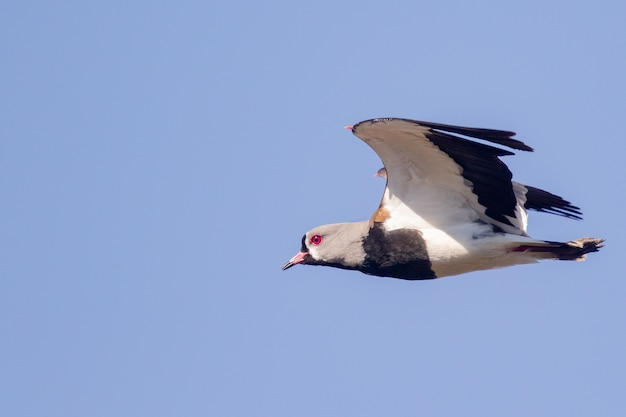 Closeup shot of southern lapwing on flight under the blue sky