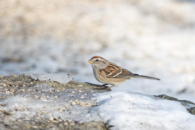 Closeup shot of a sparrow bird standing on a rock full of seeds
